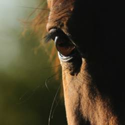 pferdeosteopath, chiropraktik pferd schweiz, pferd genick verwirft sich, pferd schief, schulterblockade, schiefe kruppe